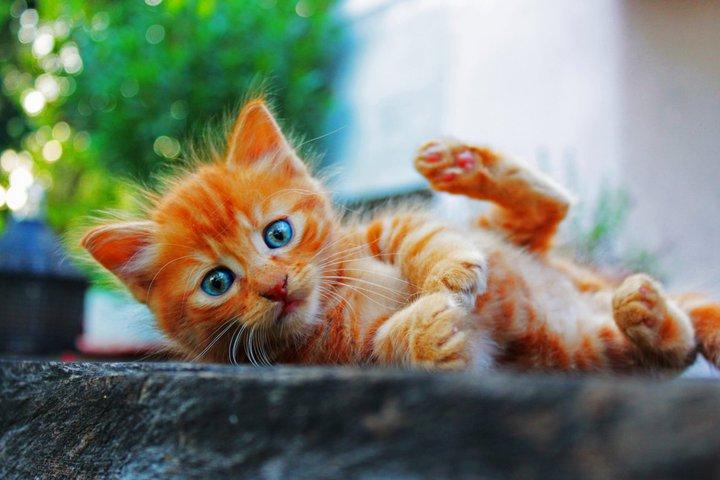 gattino rosso